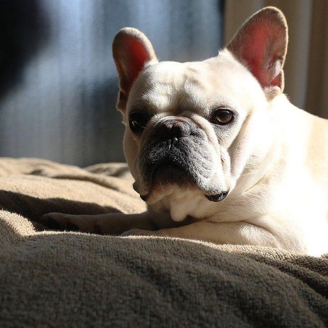 哀愁 #フレブル #フレンチブルドッグ #buhi #ブヒ #frenchbull #frenchbulldog