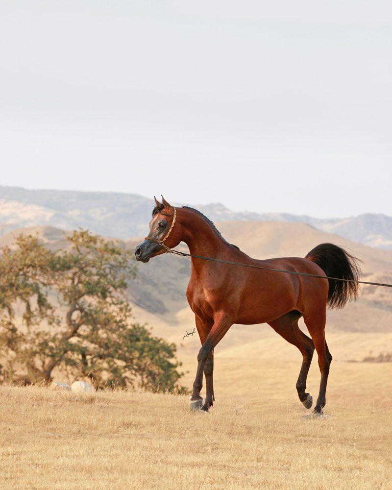FA El Rasheem (FA El Shawan x Virtuosa MLR) 2011 Purebred Bay Stallion