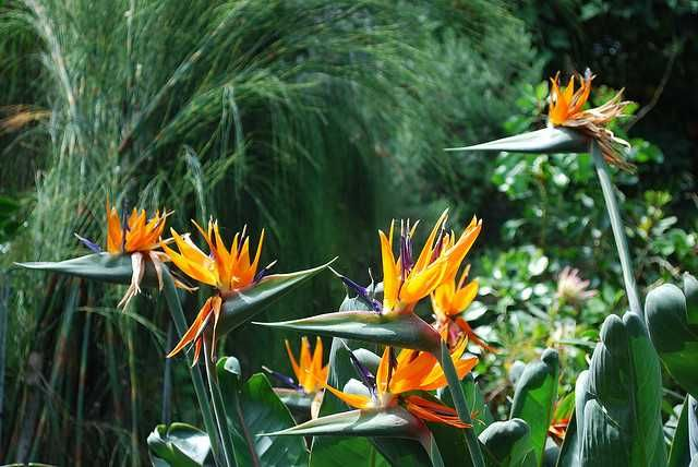 Strelitzia Reginae Flatbud Com Birds Of Paradise Flower Plants Plant Guide