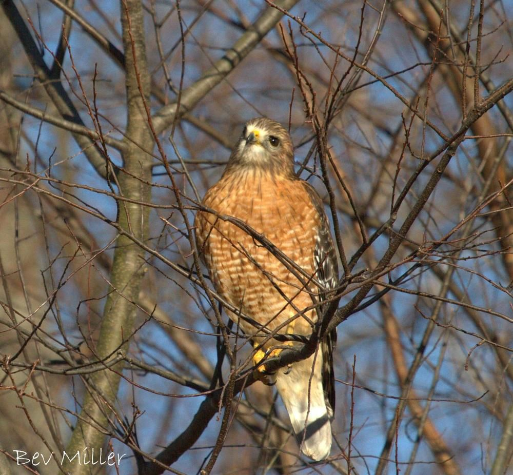 red shouldered hawk in my backyard by beverly birds of a