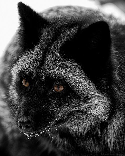 A beautiful silver fox