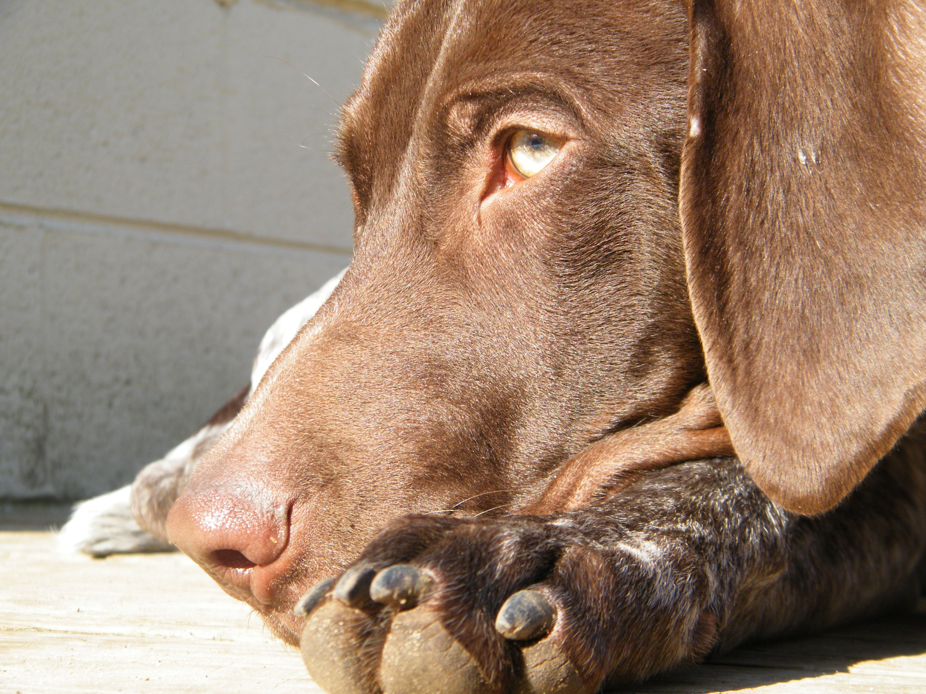 Gsp If That Isn T The Prettiest Eye Color Tied With The Husky German Shorthaired Pointer German Shorthair Pretty Eyes Color