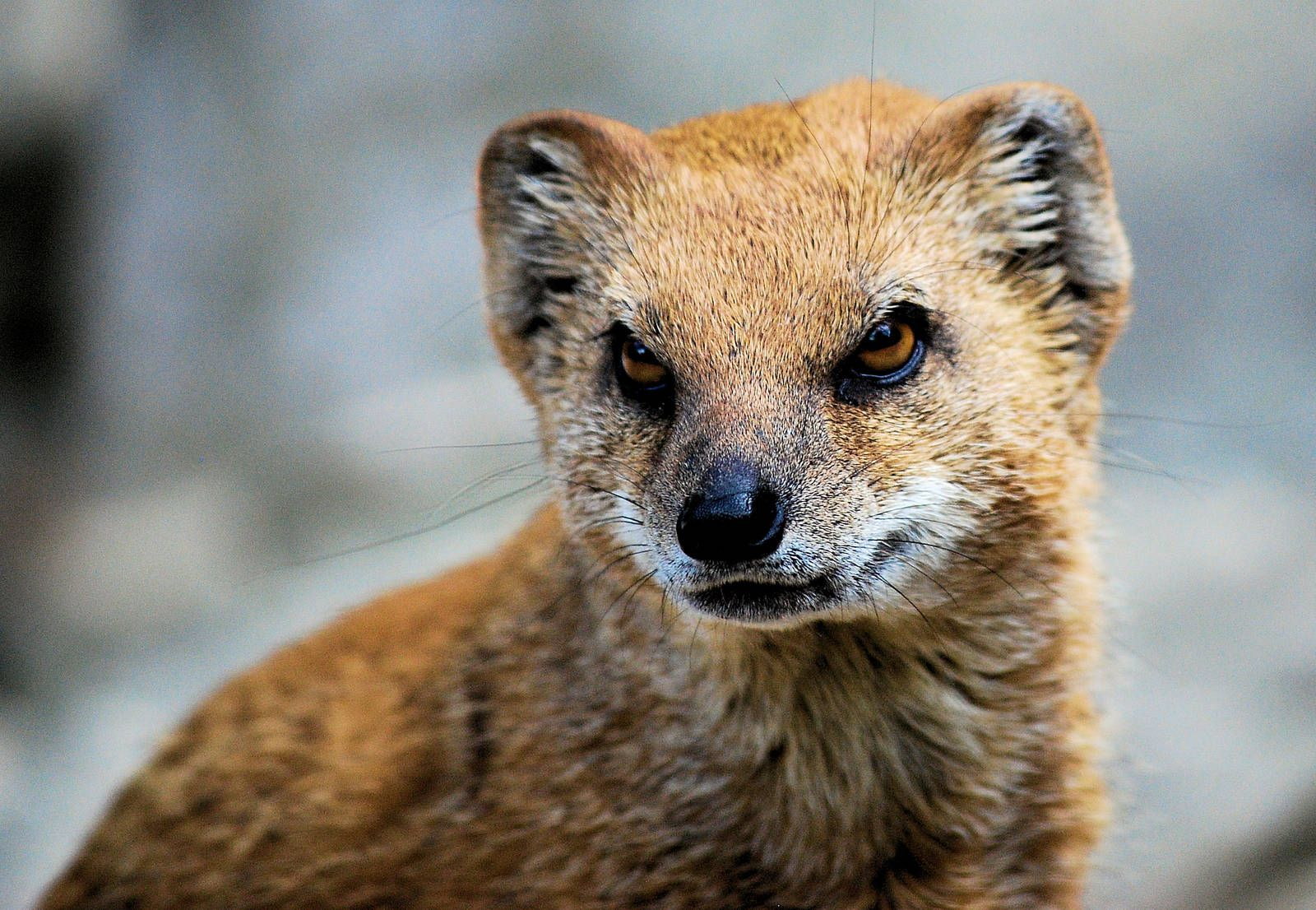 Angry Animals Google Search: Mongoose - Google Search