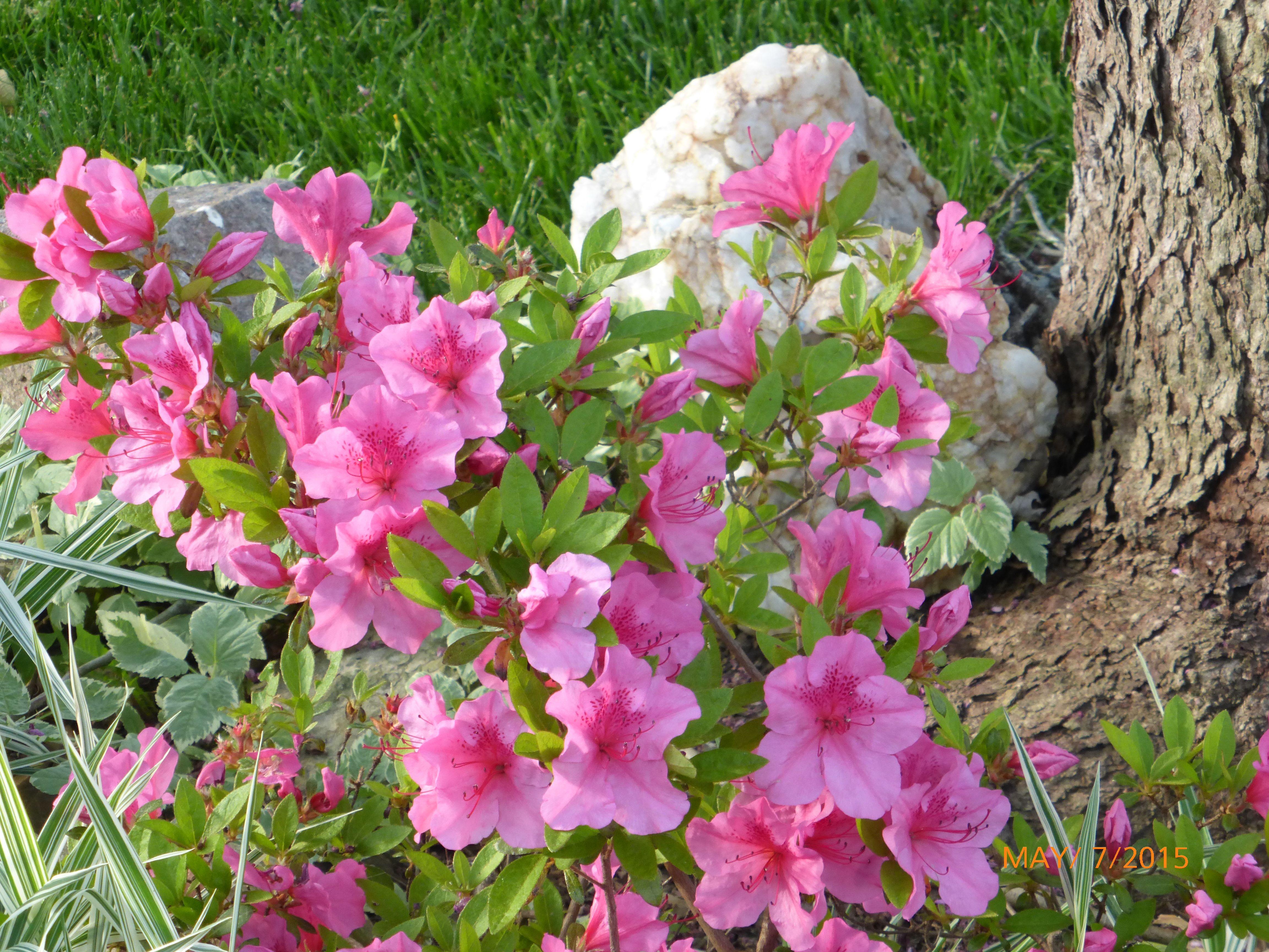 Azalea 꽃