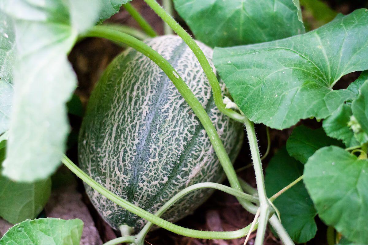 Companion Planting For Melons Companion Planting Plants 640 x 480