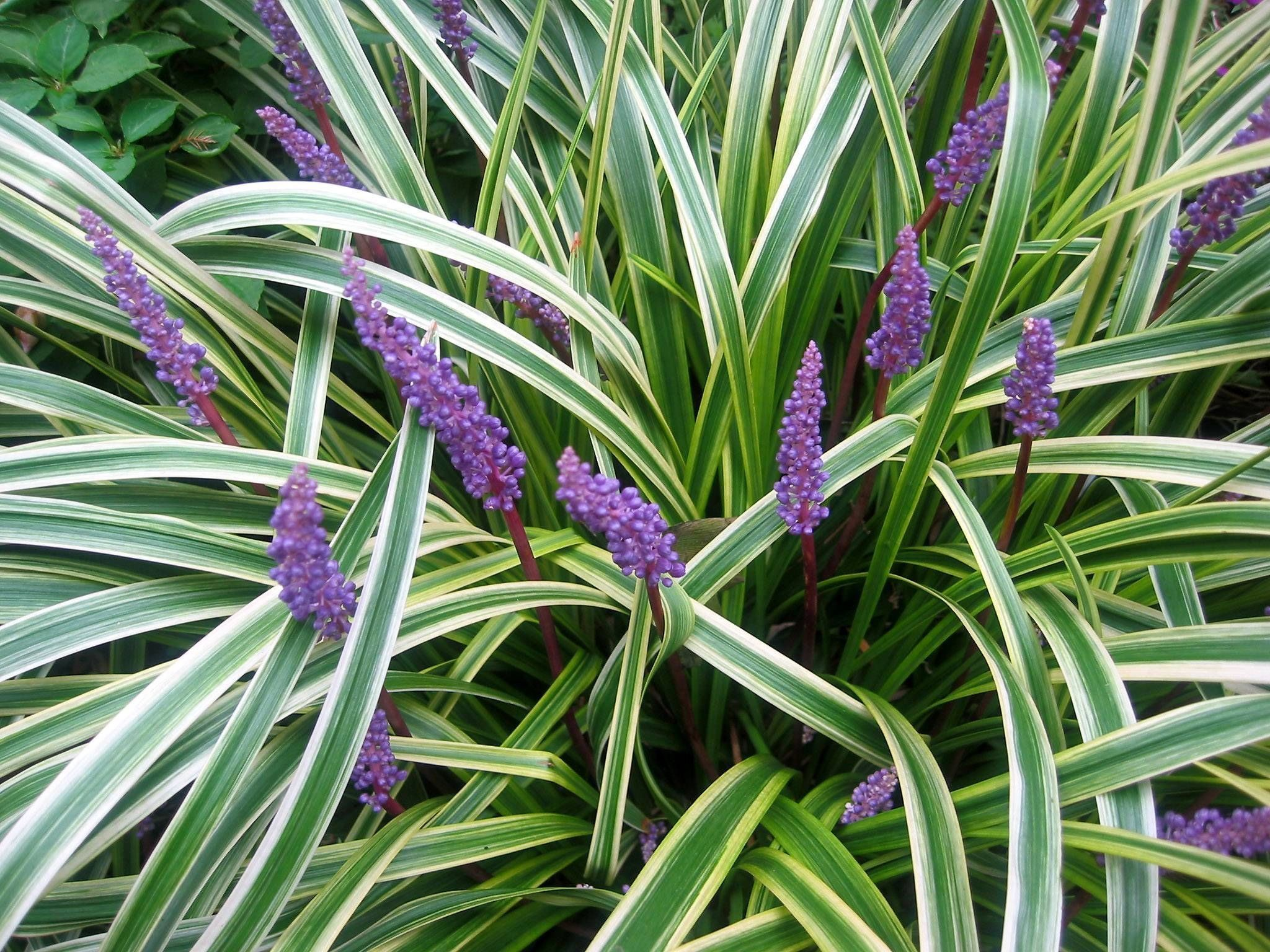 Picture of Live Sunny Lily Turf aka Liriope muscari 'Silvery Sunproof' Plant Fit 1 Gallon Pot