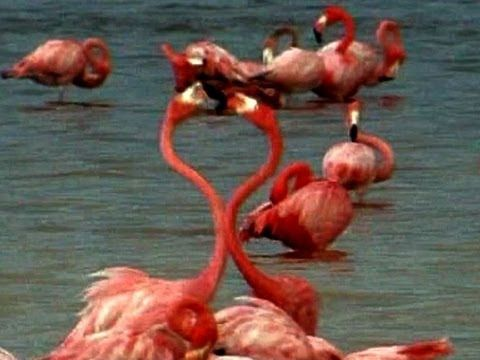 1000 of Pink Flamingos come to Celestan for they mating dance