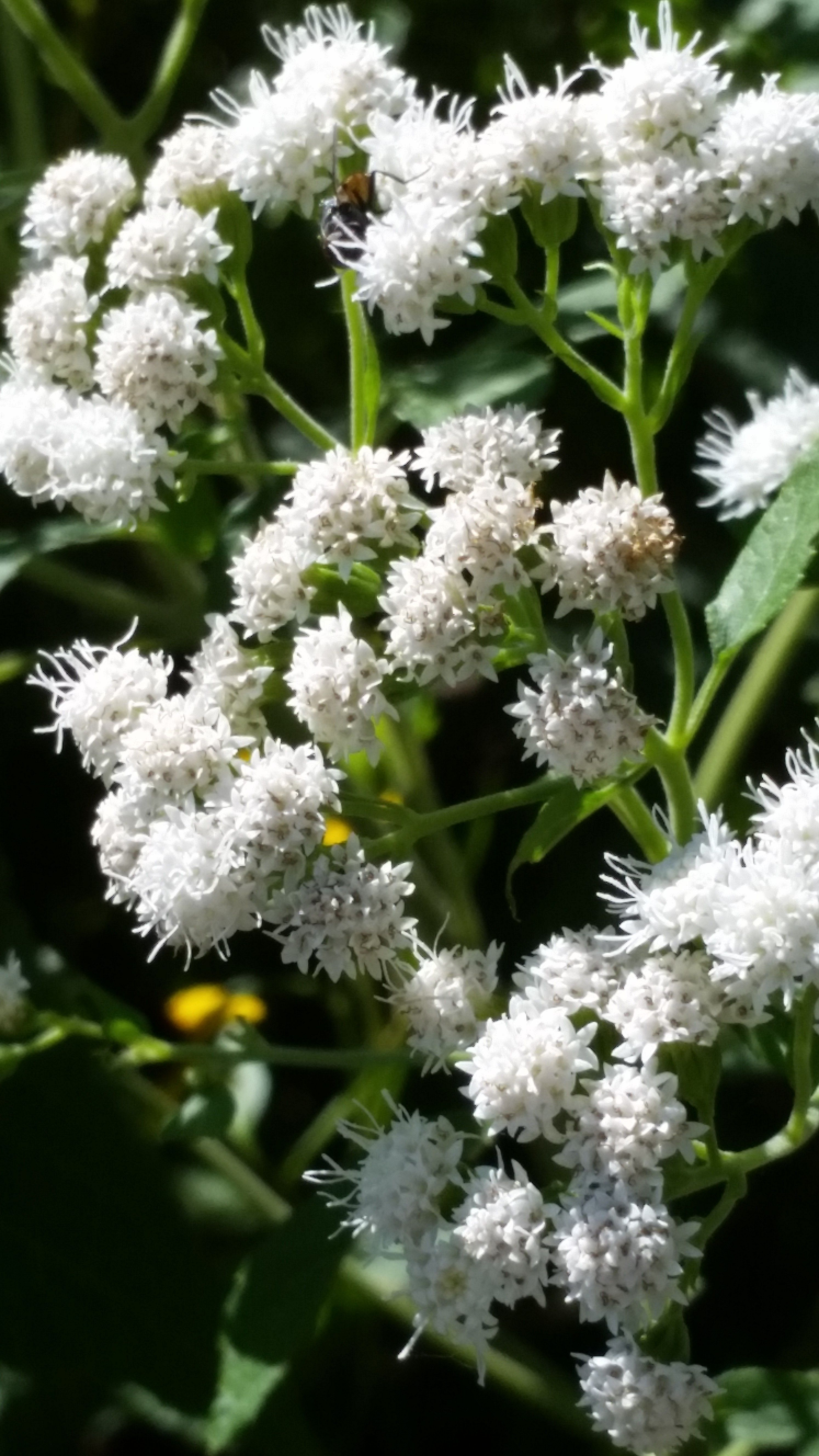 Common Boneset Eupatorium Perfoliatum Is An Upright Perennial