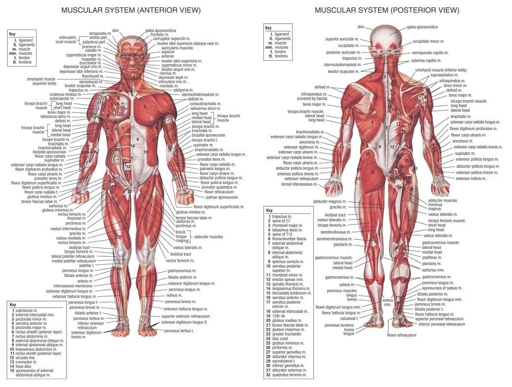 Human Body Anatomical Chart Muscular System Wall Print POSTER Decor ...