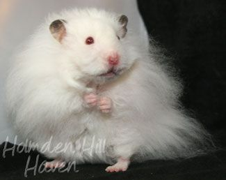 Long Haired Syrian Hamster Puff Of Cotton Curl Dark Eared White