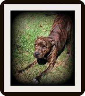 Homer Glen, IL - Boxer Mix. Meet Chuckie, a dog for adoption. http://www.adoptapet.com/pet/17482702-homer-glen-illinois-boxer-mix