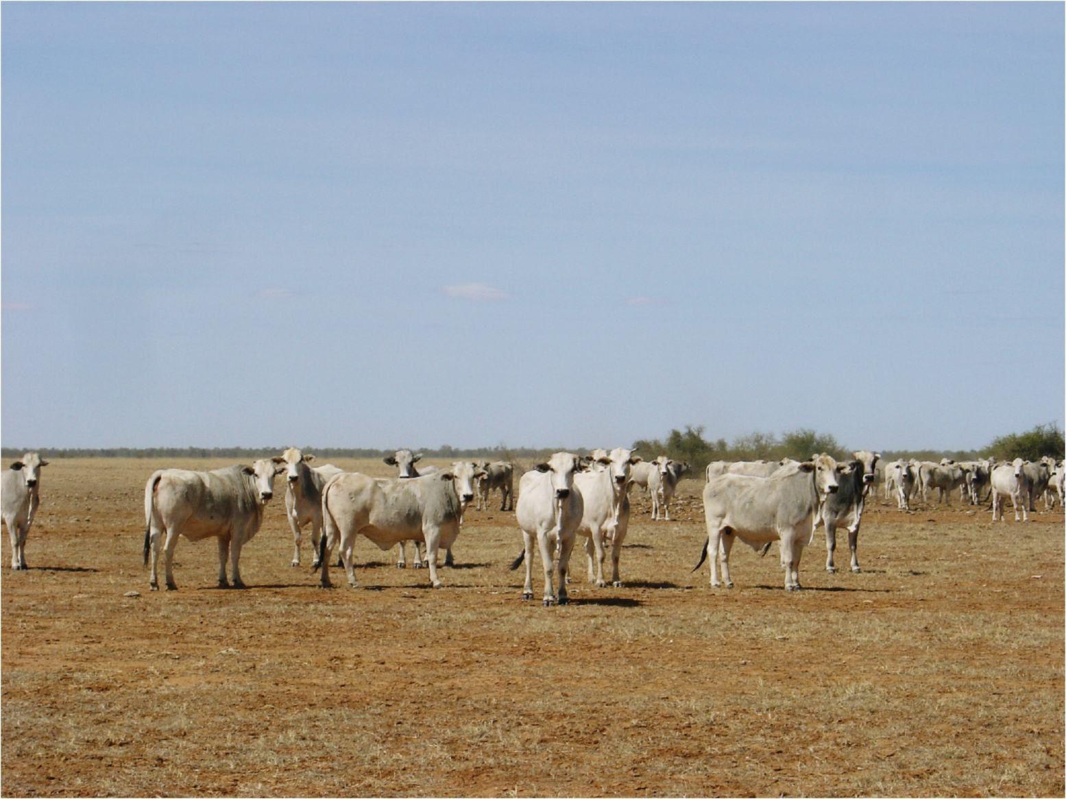 Cattle, Mt Isa to Winton Highway, Queensland, Australia