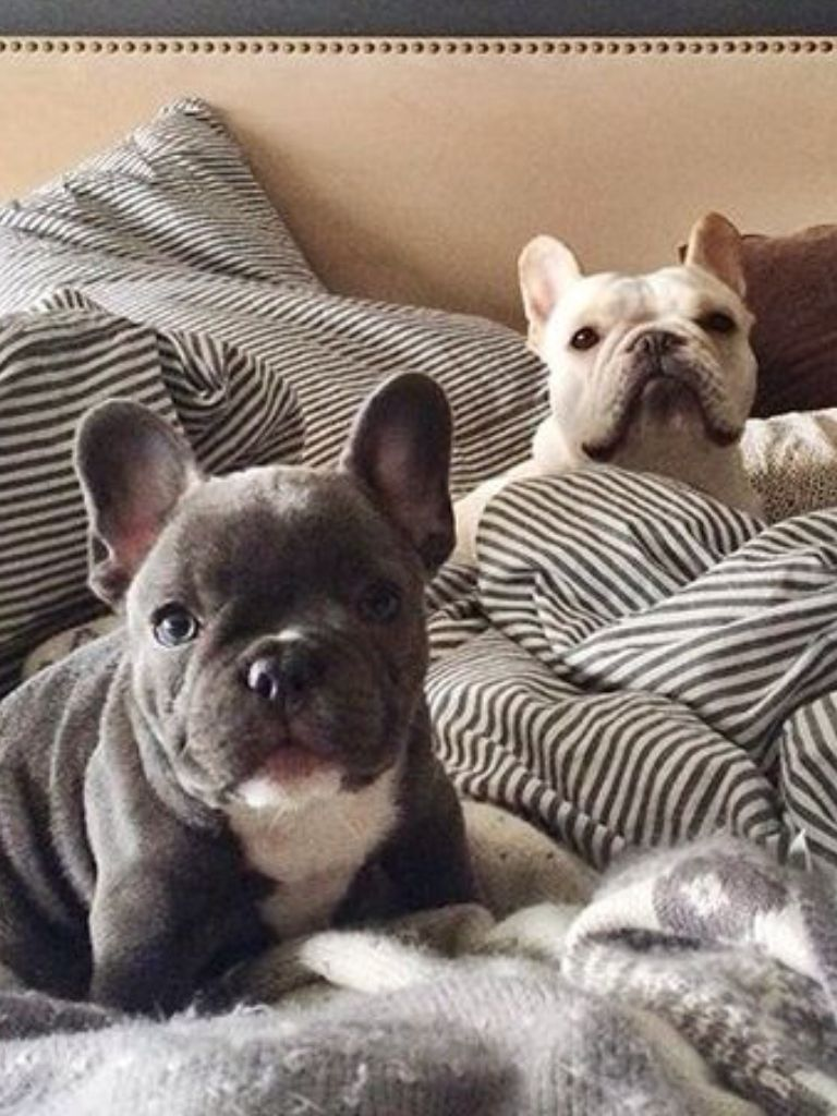 French Bulldogs Refuse To Leave The Bed Fawn French Bulldog