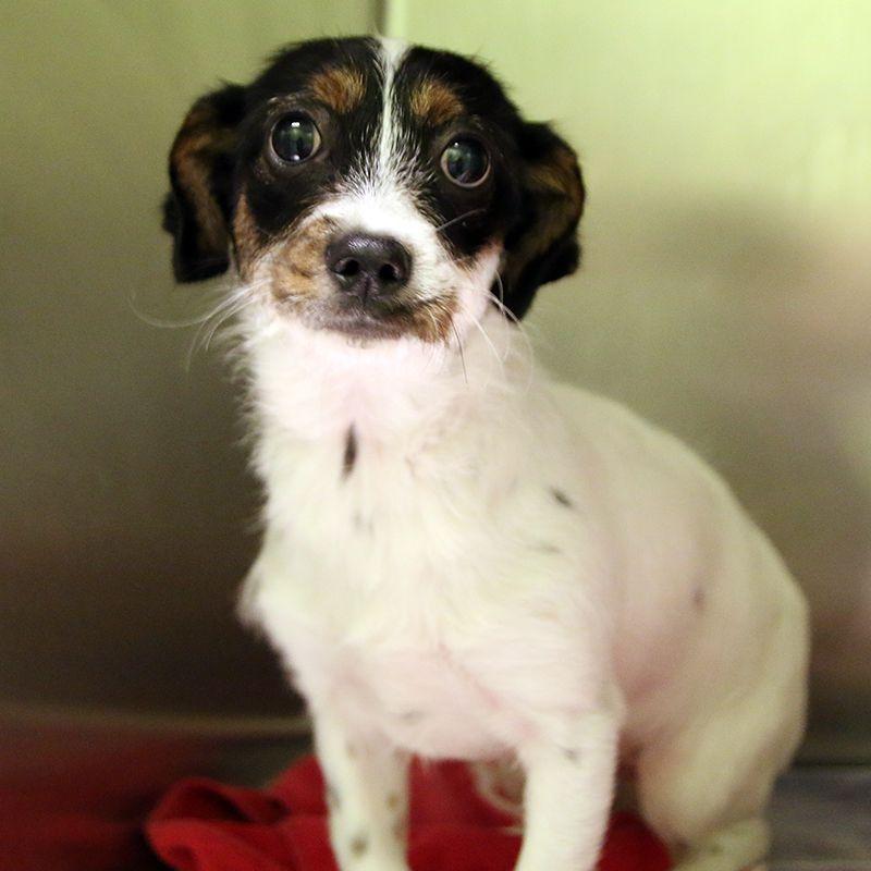 Pixy - SPCA of Texas (McKinney)