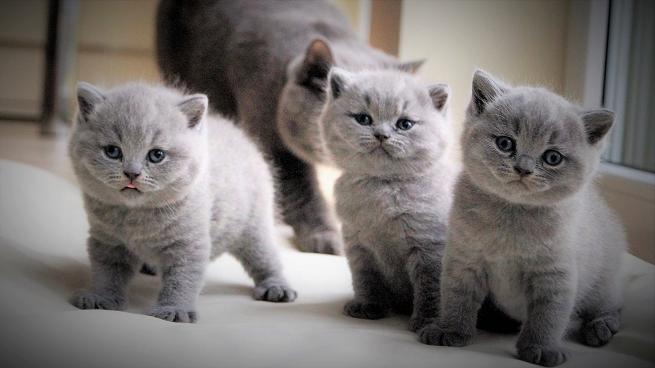 Bkh Of Blue Yoda Willkommen Of Blue Yoda Baby Katzen Katzenbabys Britisch Kurzhaar