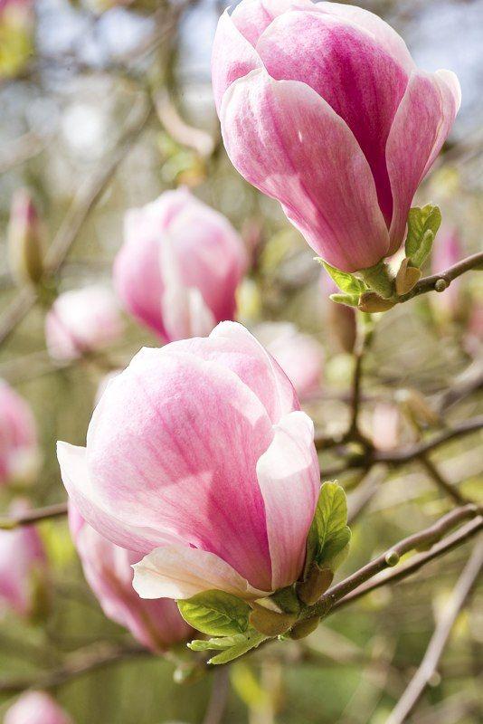 Magnolia Magnolia Flower Flowers Tulip Magnolia