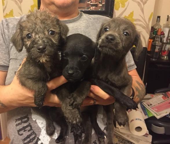 Bedlington Italian Greyhound Cross Bedlington Whippet Puppies Two