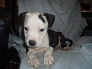 Blue Pitbull Puppies For Sale Jacksonville Fl Cute Baby Animals