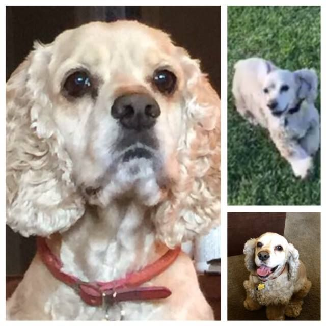 It Is With A Heavy Heart That We Have To Report That Conner Has Crossed The Rainbow Bridge Ten Year Old Cocker Spaniel Con Dog Heaven Old Dogs Rainbow Bridge
