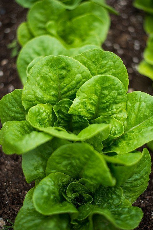 Winter Density Lettuce 28 54 Days Winter Plants Gardening For