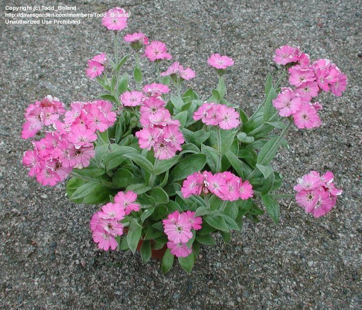 Flower Of Jove Nana Lychnis Flos Jovis Flowers Flos Plants
