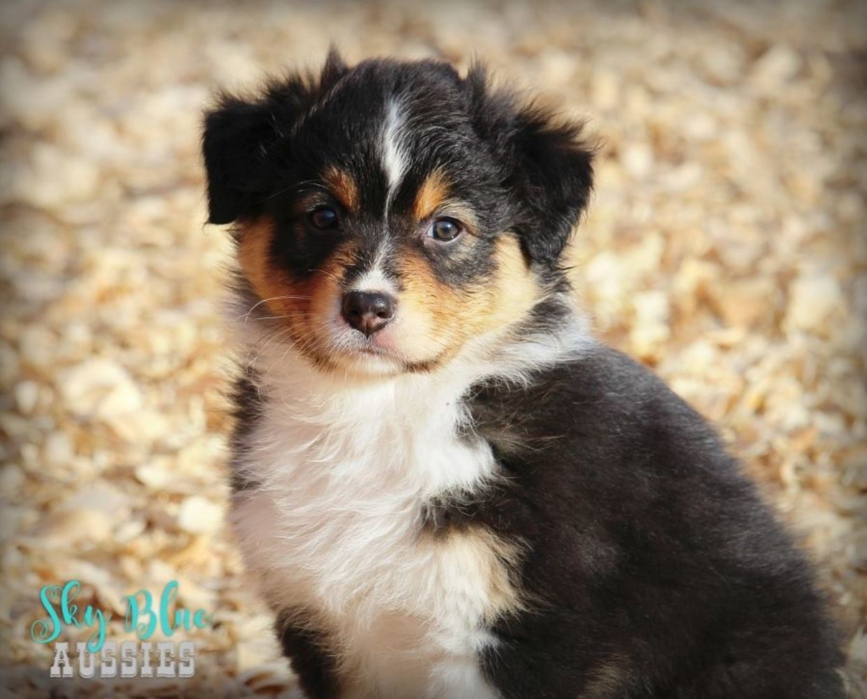 Australian shepherd puppy Sadie! Black tri Aussie puppies