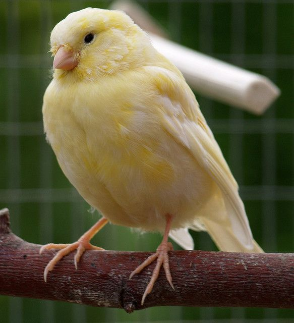 Young Yellow Canary With Images Canary Birds Birds Pet Birds