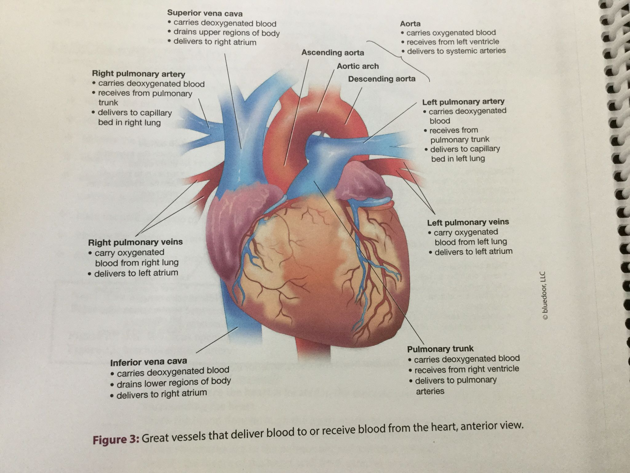 Heart Located in the mediastinum of the thoracic cavity Specifically ...
