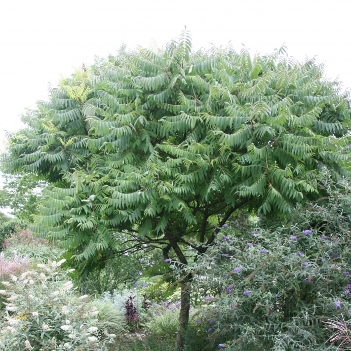 Essigbaum Tattoo Essigbaum Gartengestaltung Ideen Und Gartenbaume