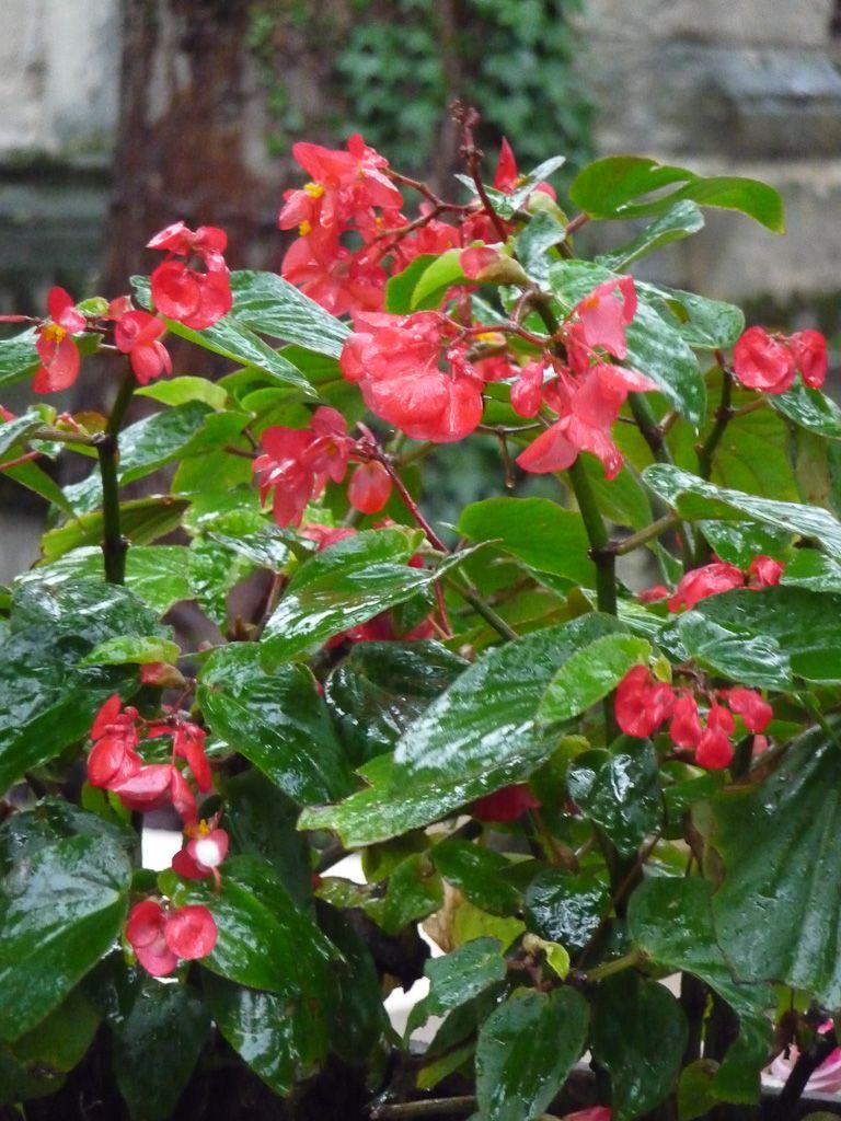 Infatigable Begonia Dragon Wing Paris Cote Jardin Begonia Planter Des Fleurs Feuilles De Plantes