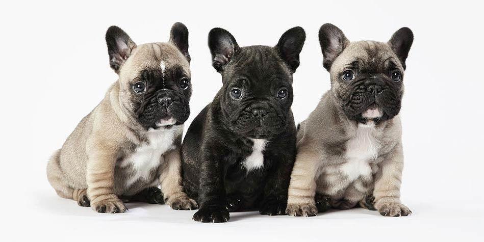 Buldog Francuski Bulldog Puppies French Bulldog Puppies French