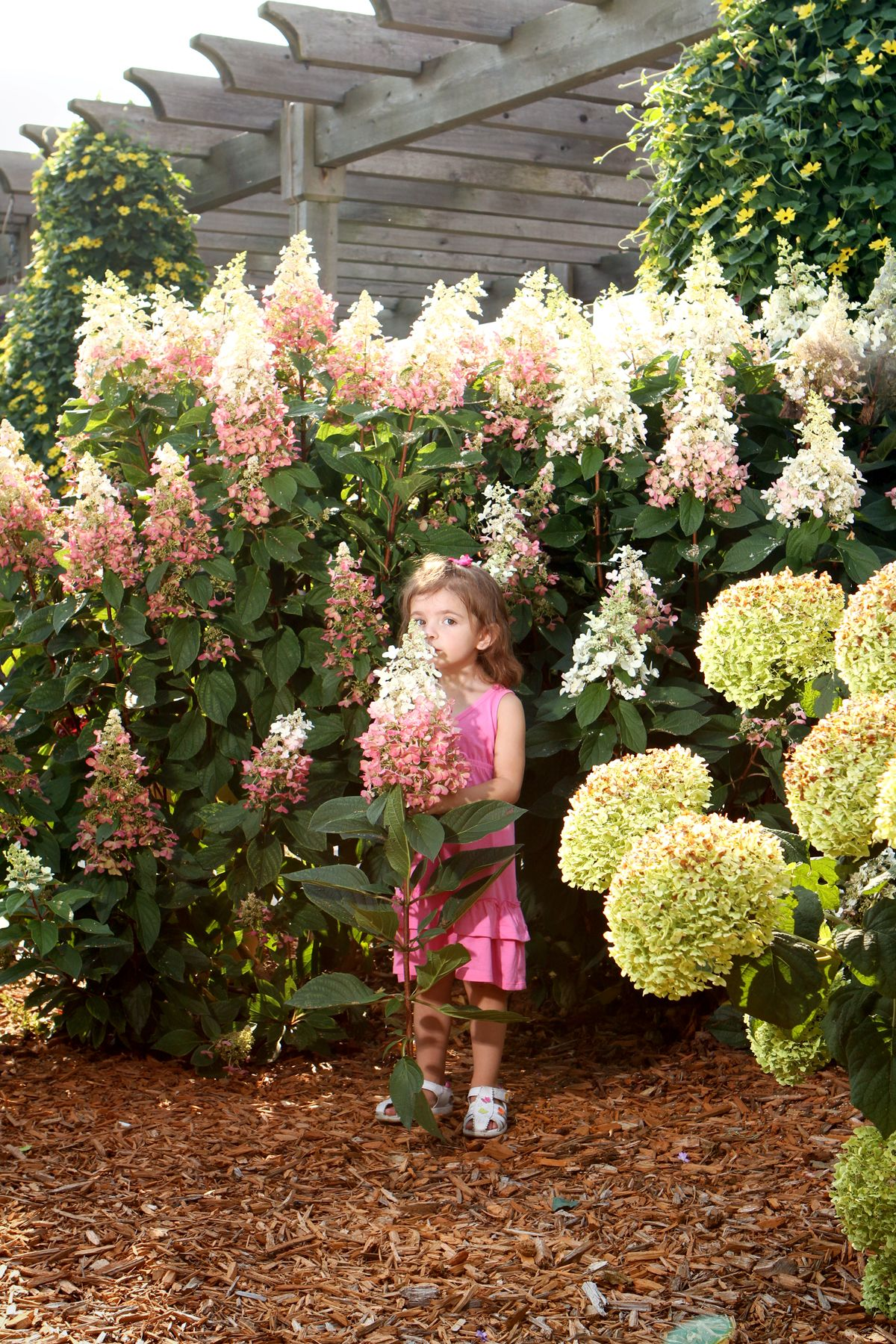pinky winky panicle hydrangea hydrangea paniculata. Black Bedroom Furniture Sets. Home Design Ideas