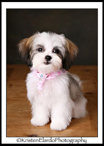 Biscotti After Her First Haircut Shorkie Yorkie Shih Tzu