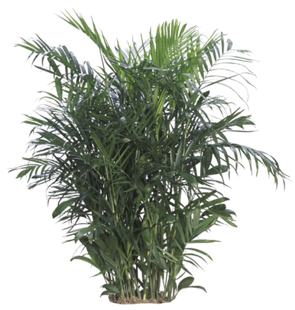Tall House Plants Low Light chinese evergreen is a very adaptable plant, it tolerates low