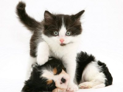 Black And White Kitten Walking Over Sleeping Cavalier King Charles Spaniel Puppy Photographic Print By Jane Burton Cavalier King Charles Dog Spaniel Puppies Black White Kittens