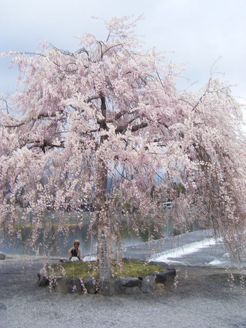 Weeping Willow Cherry Blossom Tree Willow Tree Tattoos Tree Tattoo Small Willow Trees Garden