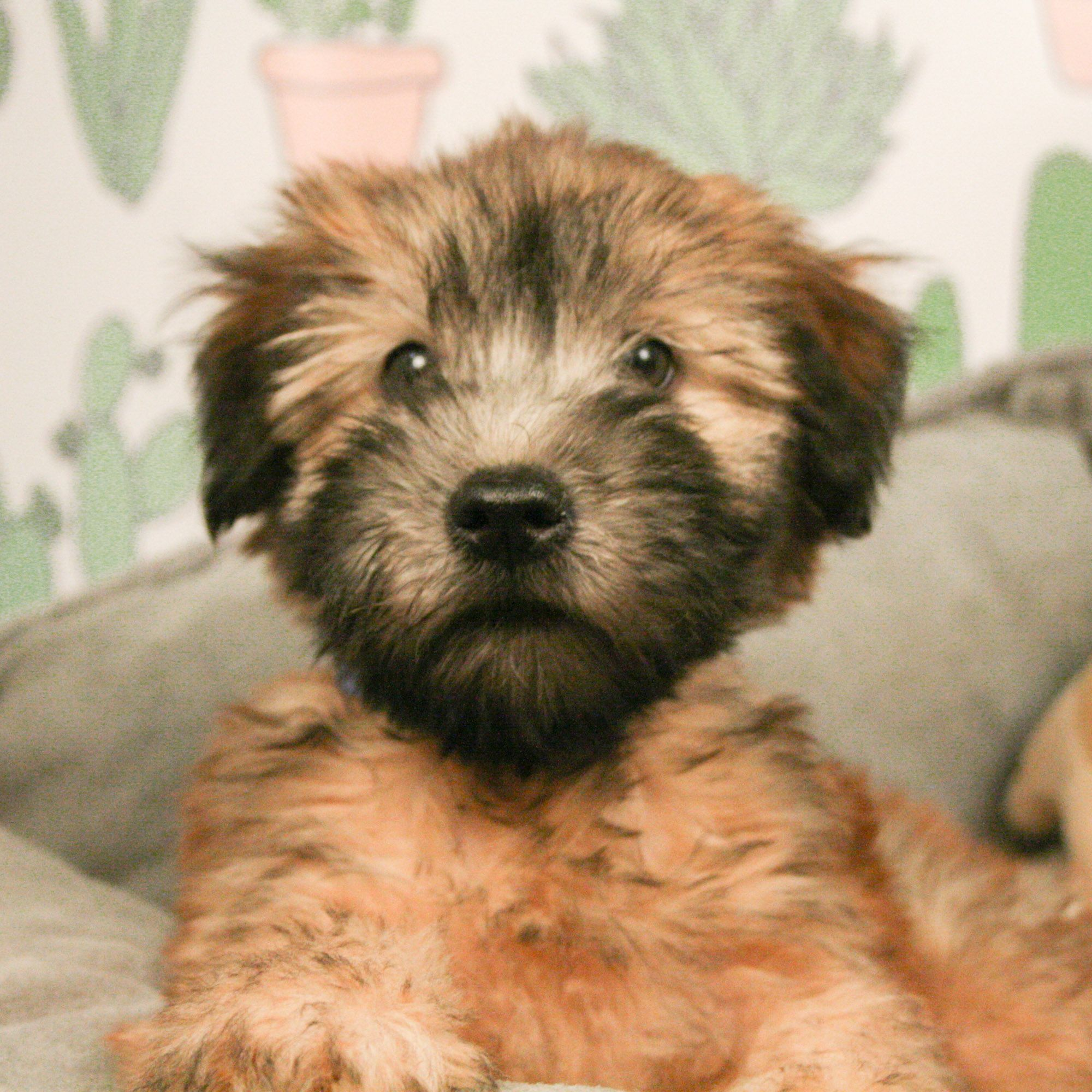 Soft Coated Wheaten Terrier Puppies Are Gorgeous Little Teddy