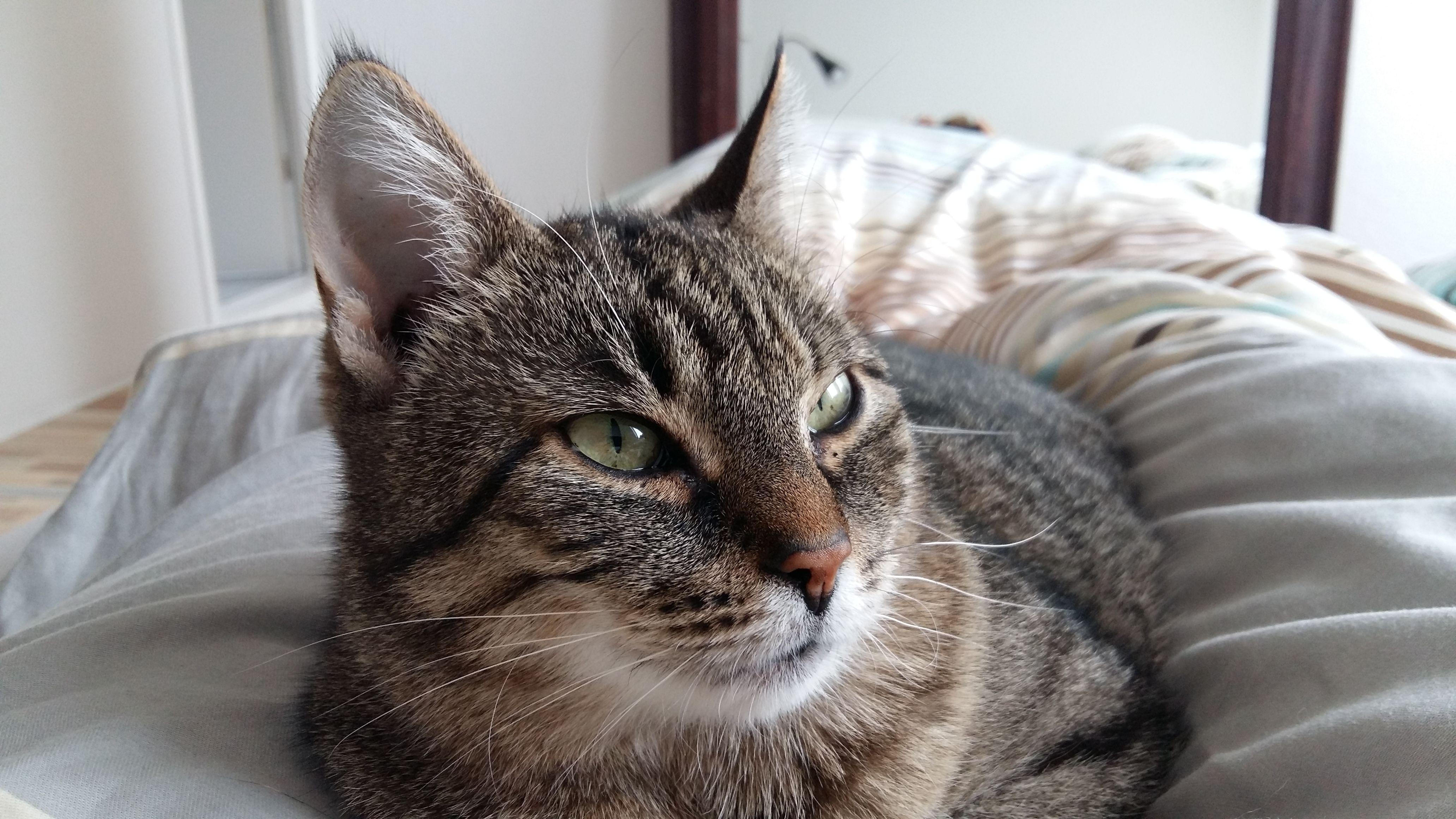 Sumba Katze | Pawshake