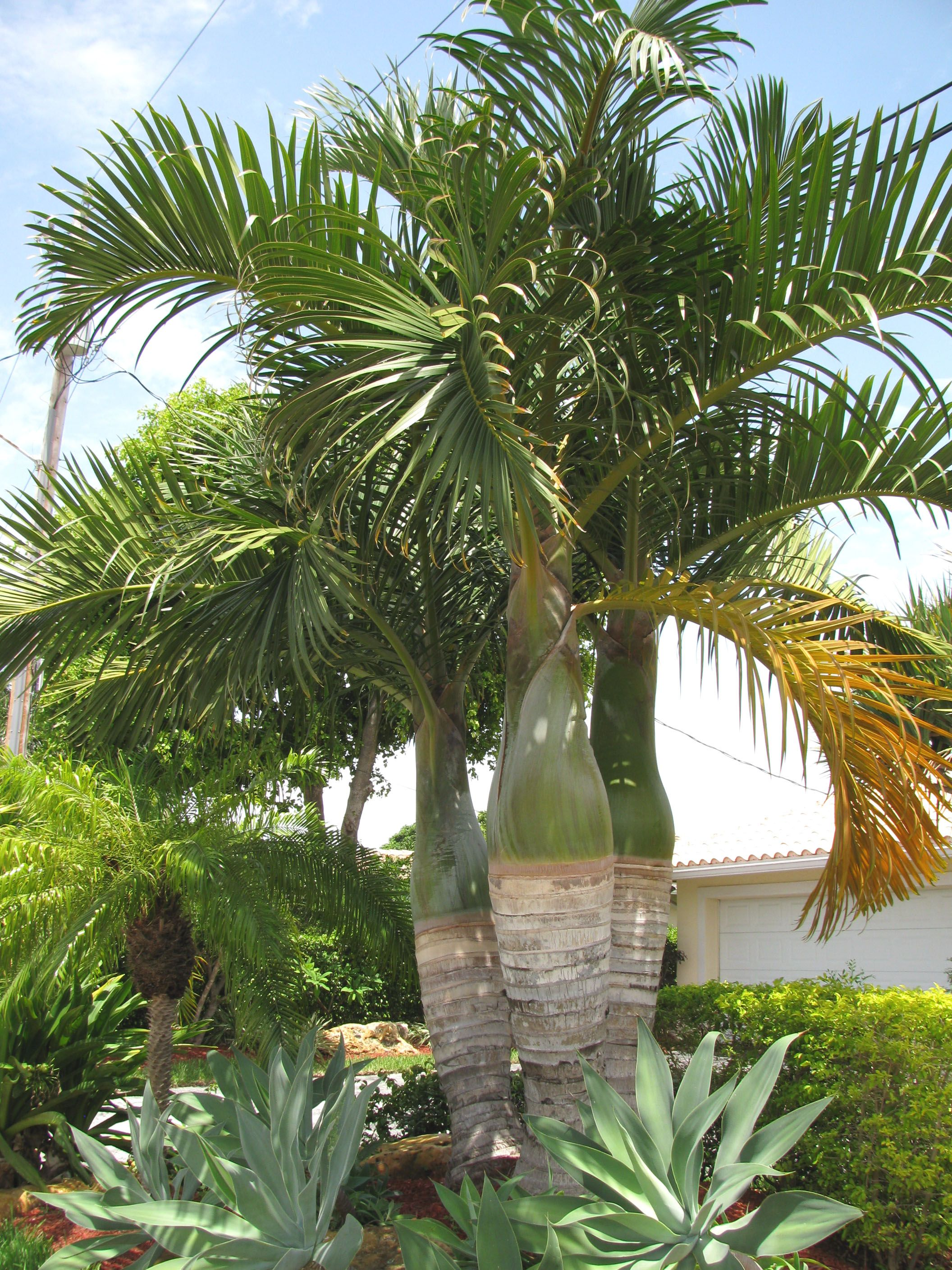 Spindle Palm Hyophorbe Verschaffeltii Article Palm Garden Tropical Tree Trees To Plant