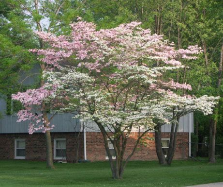 two color dogwood tree