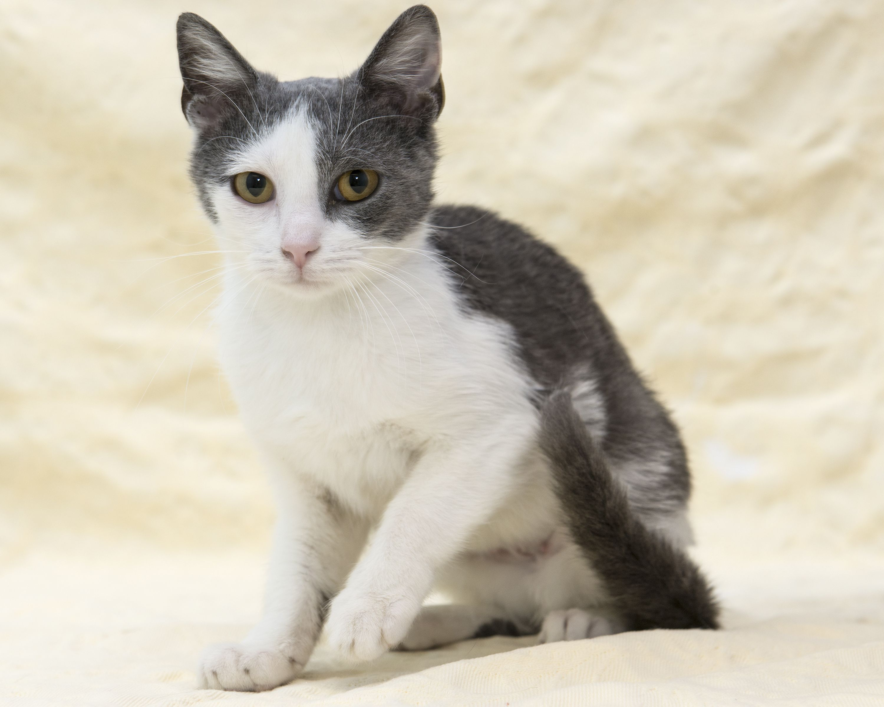 Lena Found Herself A Great Foreverhome On 4 3 14 Congrats Livessaved Opt2adopt Dontshopadopt Kittylove Humane Society Kitty Adoption