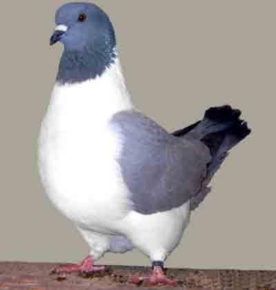 Strasser Pigeon Pigeon Breeds Pigeon Pictures Pigeon
