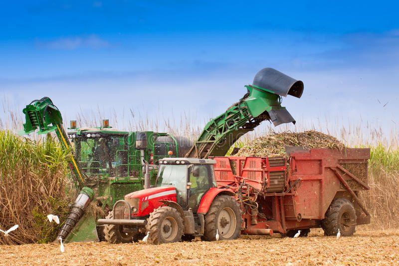 Close Up Of Sugar Cane Harvest Ing In Queensland Australia Affiliate Cane Sugar Close Harvest Australia Led Trailer Lights Led Lights Tractors