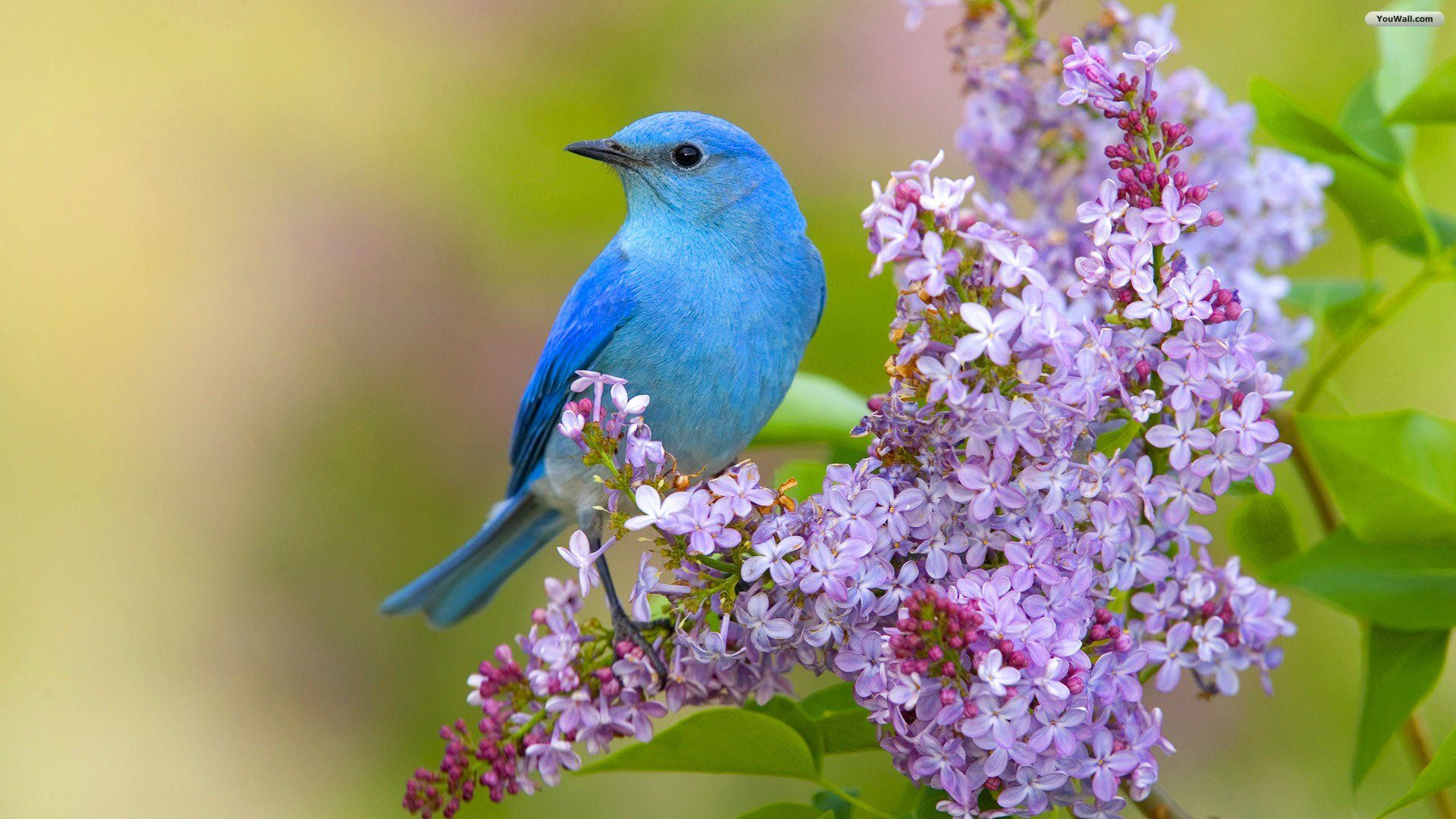Bird Wallpaper Unique Blue Bird Wallpaper  Birds  Pinterest  Wallpaper And Wallpaper Design Inspiration