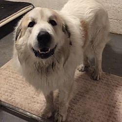 Pin By Trudy Hackney On Pyrs To You Great Pyrenees Pets