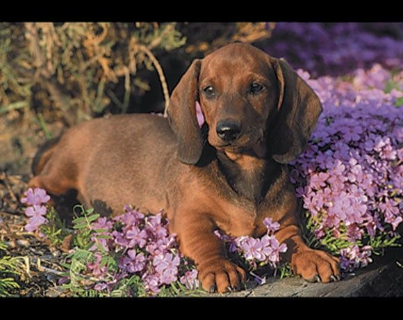 Dachshund Dogs Puppies Pre Pasted Wallpaper Wall Border Best