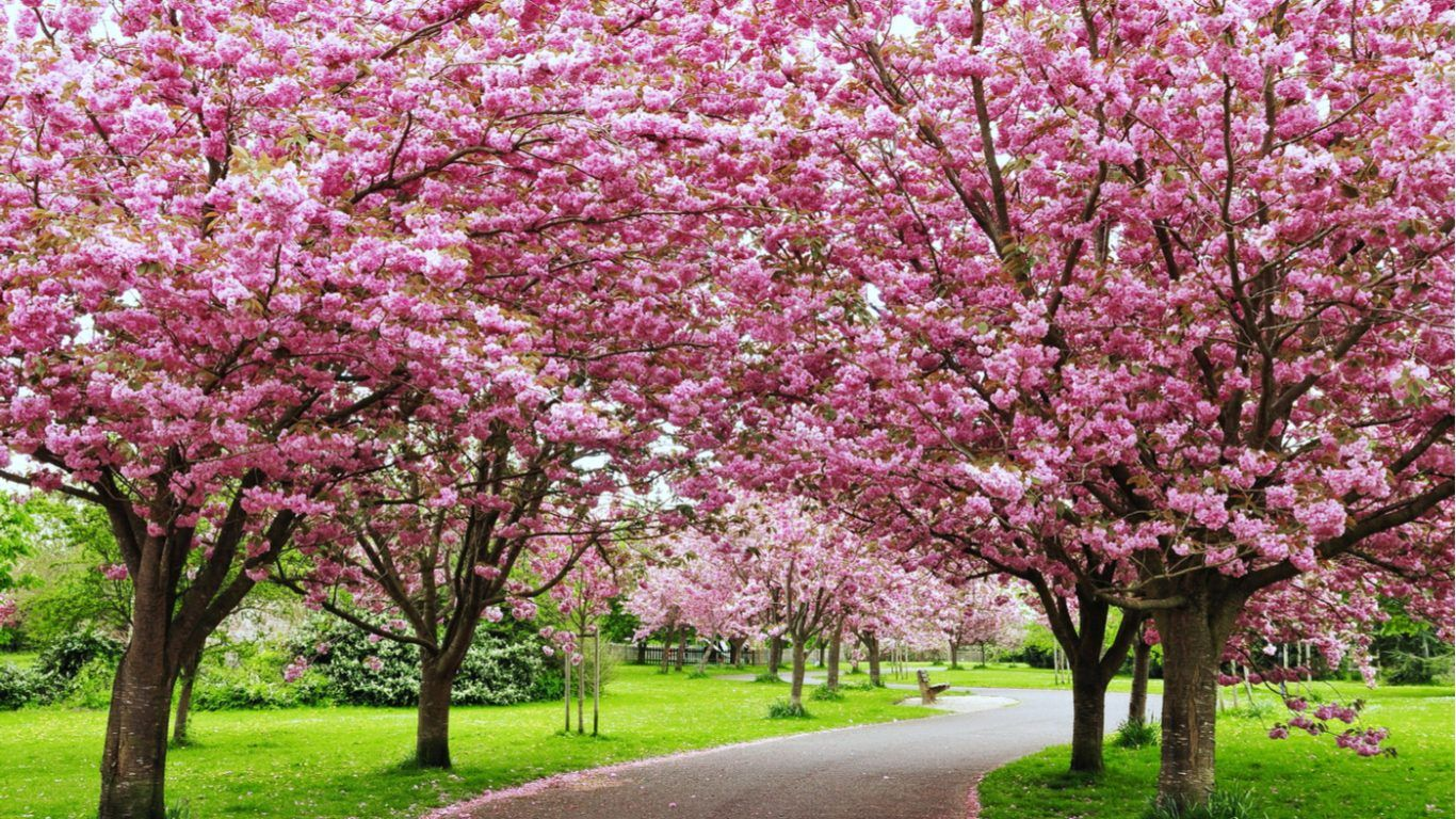 Shillong Is Hosting India S Own Cherry Blossom Festival Cherry Blossom Festival Pink Flowering Trees Trees For Front Yard