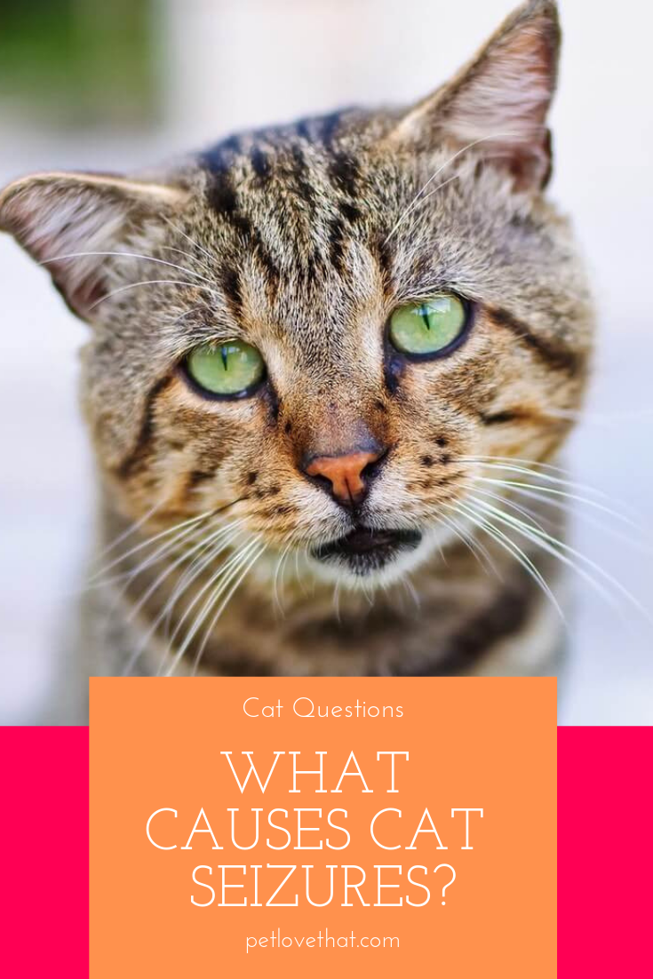 What Causes Cat Seizures Cat Questions Cats Cat Care