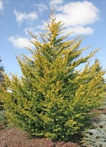 Gold Rider Leyland Cypress Scientific Name Cupressocyparis Leylandii