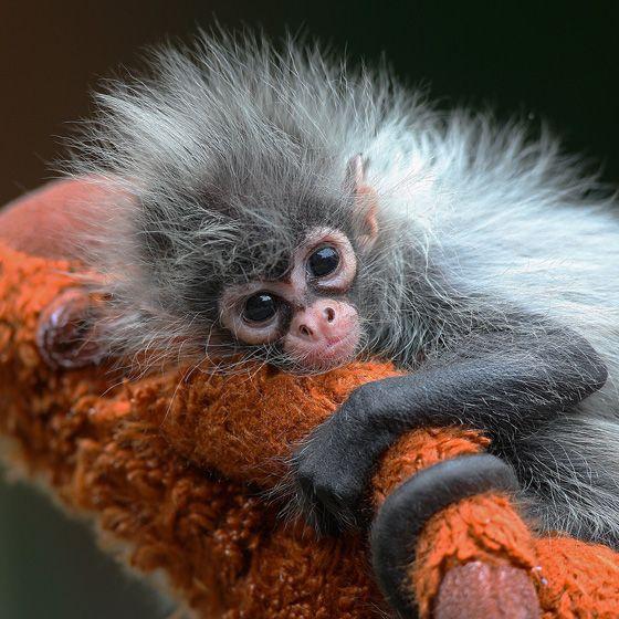 die besten 25 klammeraffen ideen auf pinterest baby orang utan l chelnde tiere und. Black Bedroom Furniture Sets. Home Design Ideas